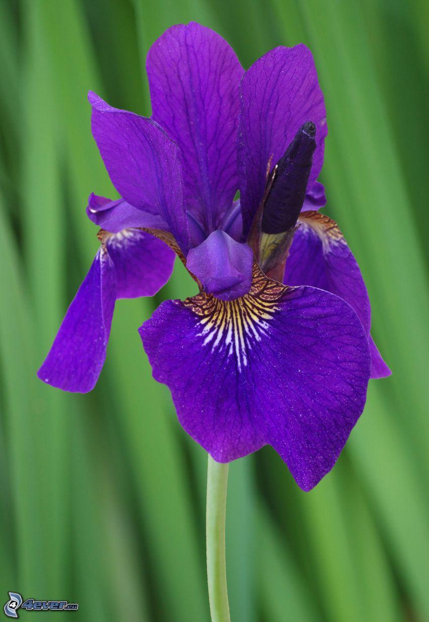 sibirische Iris, lila Blume