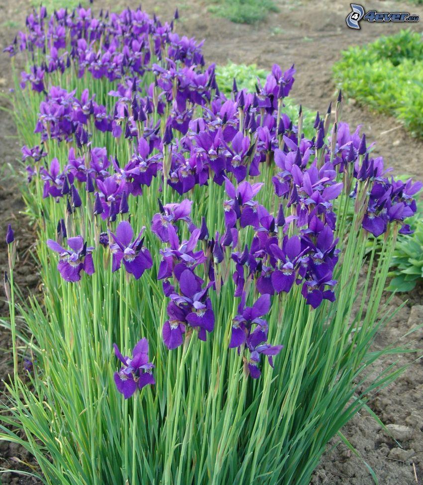sibirische Iris, lila Blumen