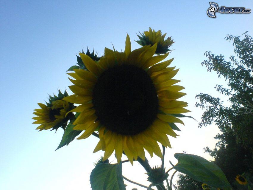 Sonnenblume, Blume