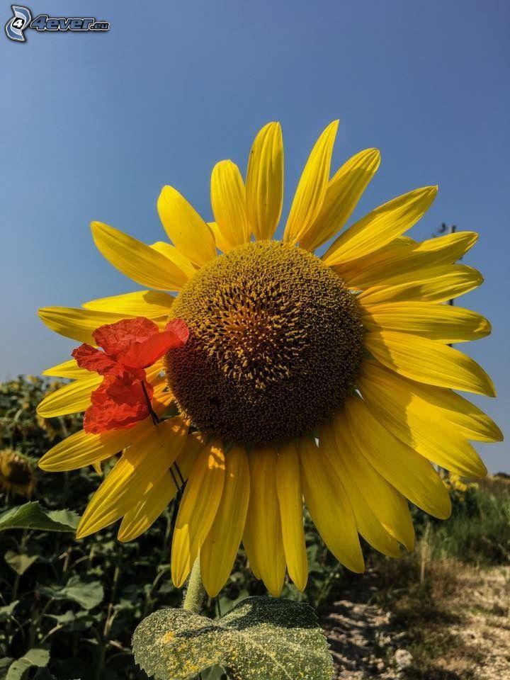 Sonnenblume, Klatschrose