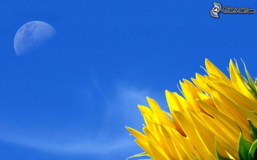 Sonnenblume, Mond, blauer Himmel