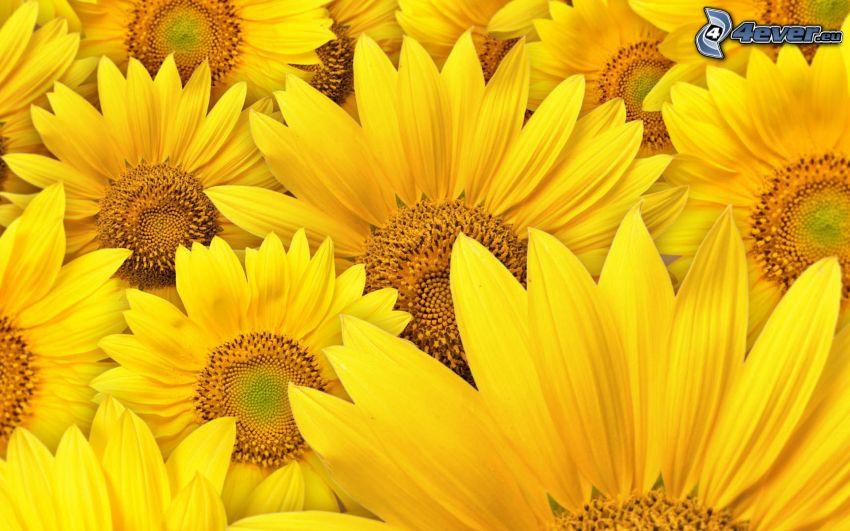 Sonnenblumen, gelbe Blumen