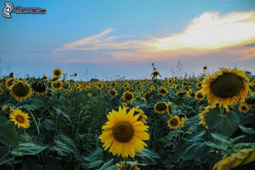 Sonnenblumen, nach Sonnenuntergang