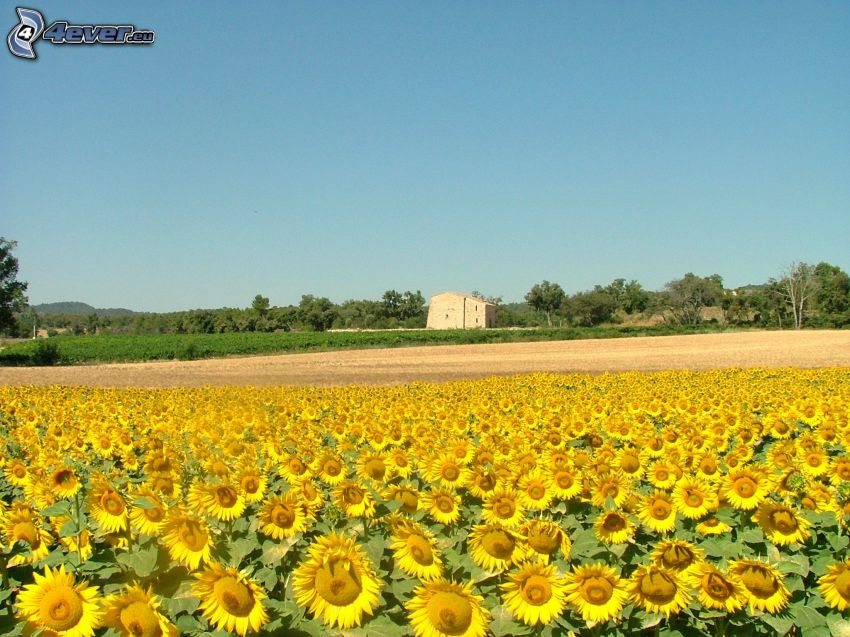 Sonnenblumenfeld, Bäume