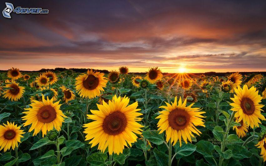 Sonnenblumenfeld, Sonnenuntergang hinter dem Feld