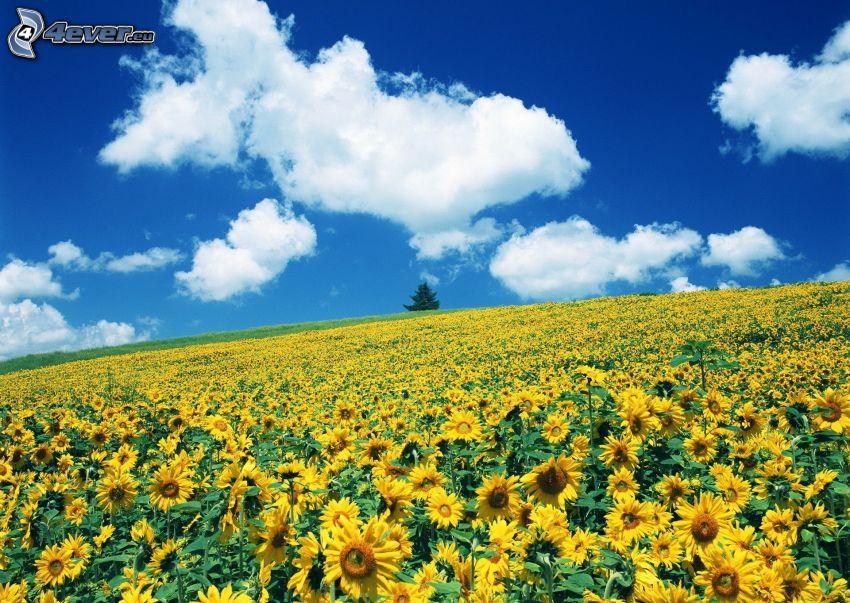 Sonnenblumenfeld, Wolken