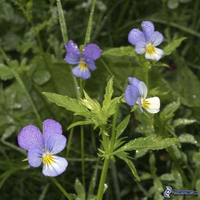 Stiefmütterchen, blaue Blumen, Grashalme
