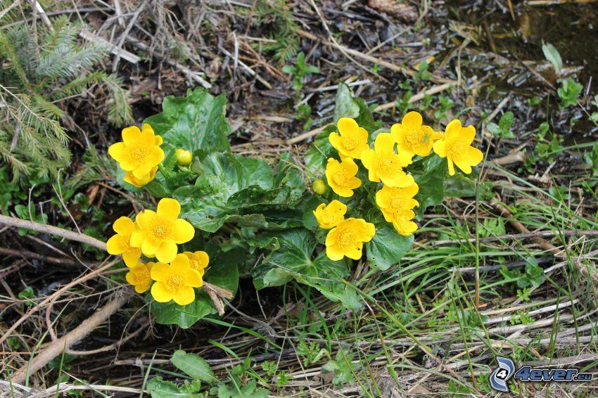 Sumpfdotterblume, gelbe Blumen, Tannennadeln