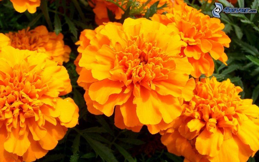 Tagetes, Blumen
