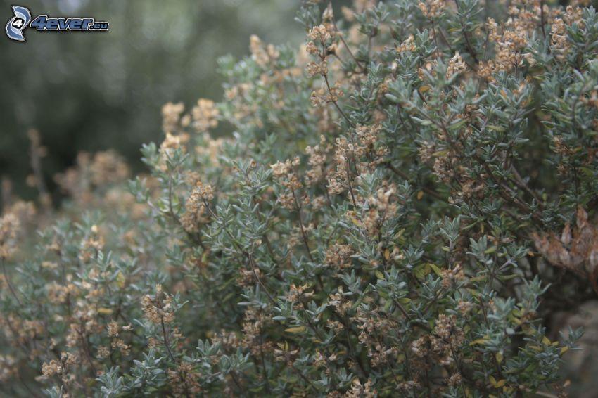 Thymian, trockenblumen