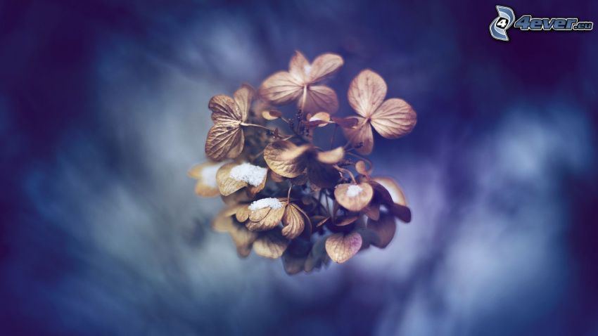 trockene Blume