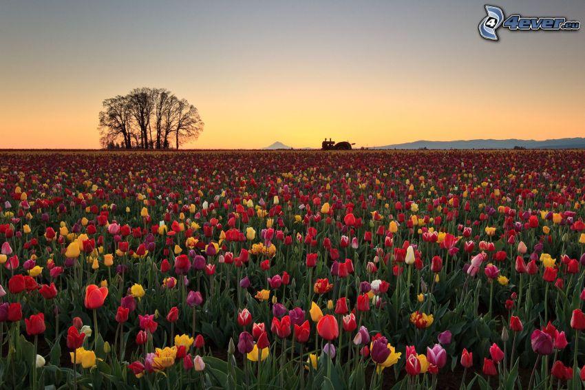 Tulpen, Bäume