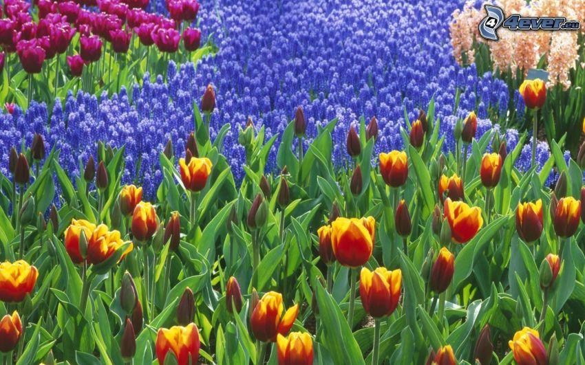 Tulpen, Gartenbeet, Blumen