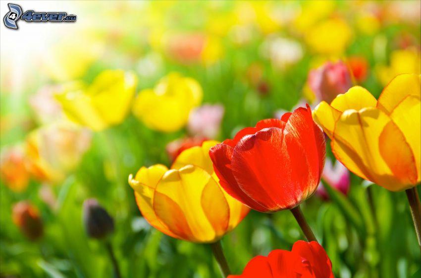 Tulpen, gelbe Tulpen, rote Tulpen