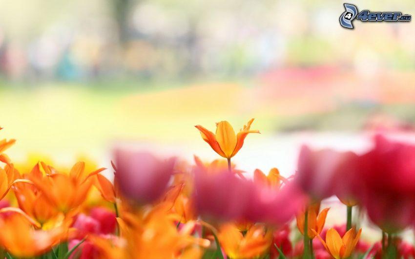 Tulpen, gelbe Tulpen