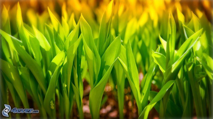 Tulpen, grüne Blätter