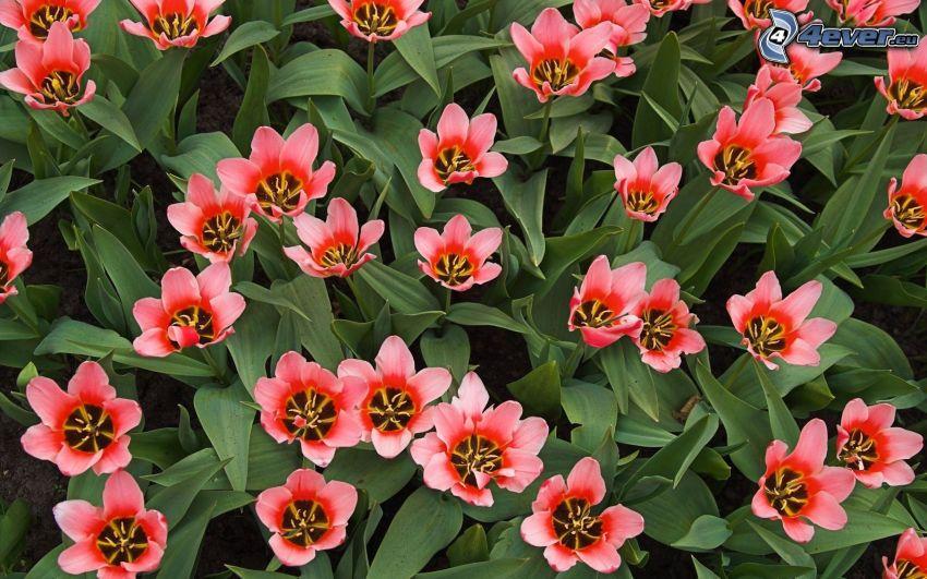 Tulpen, roten Blumen
