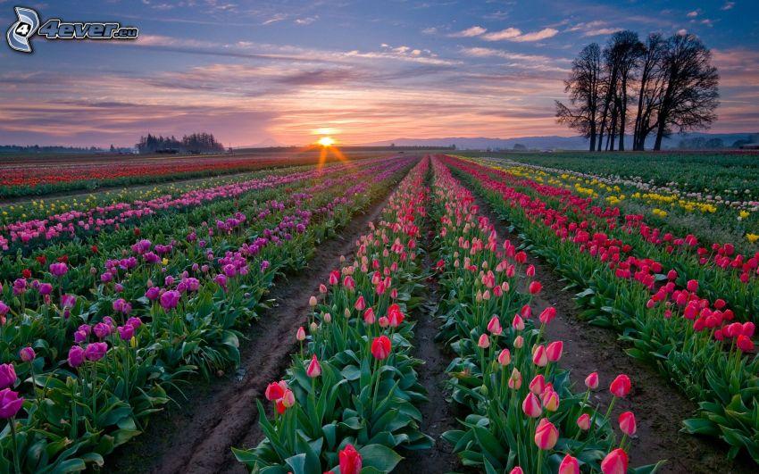 Tulpen, Sonnenuntergang hinter dem Feld