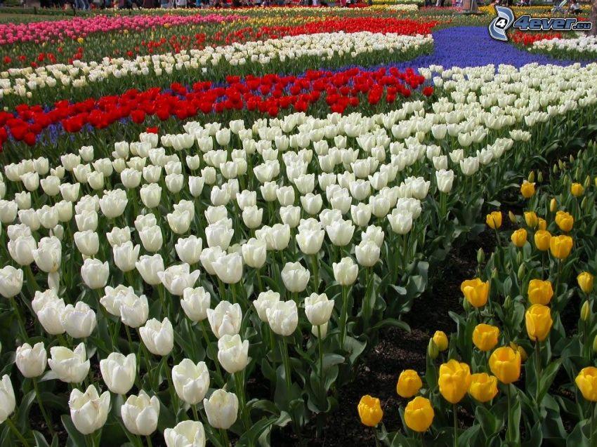 Tulpen, weißen Tulpen, rote Tulpen, gelbe Tulpen