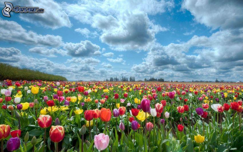 Tulpen, Wolken, bunte Blumen