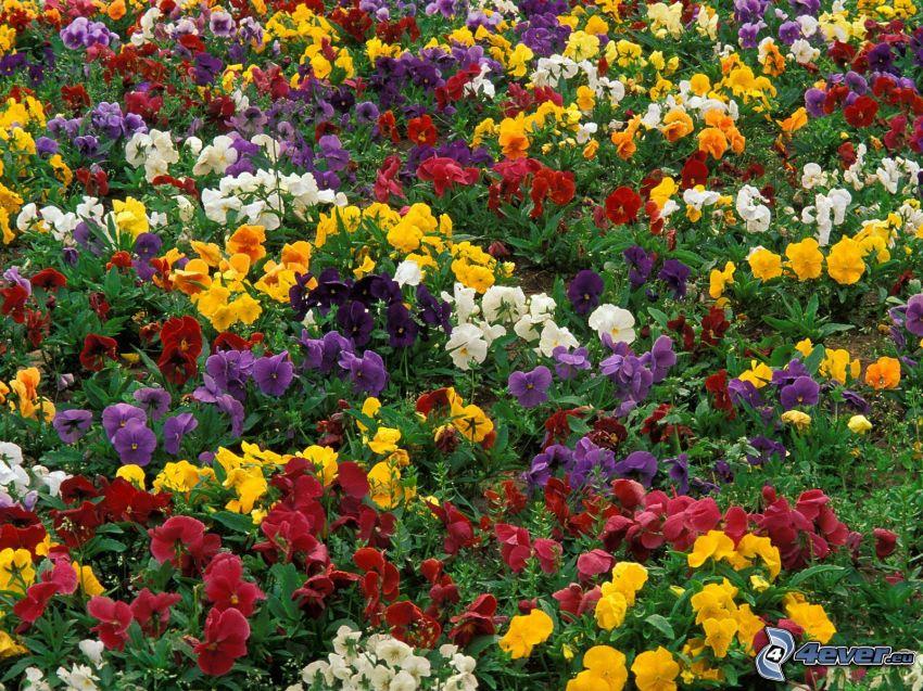 Veilchen, Blumen, Gartenbeet