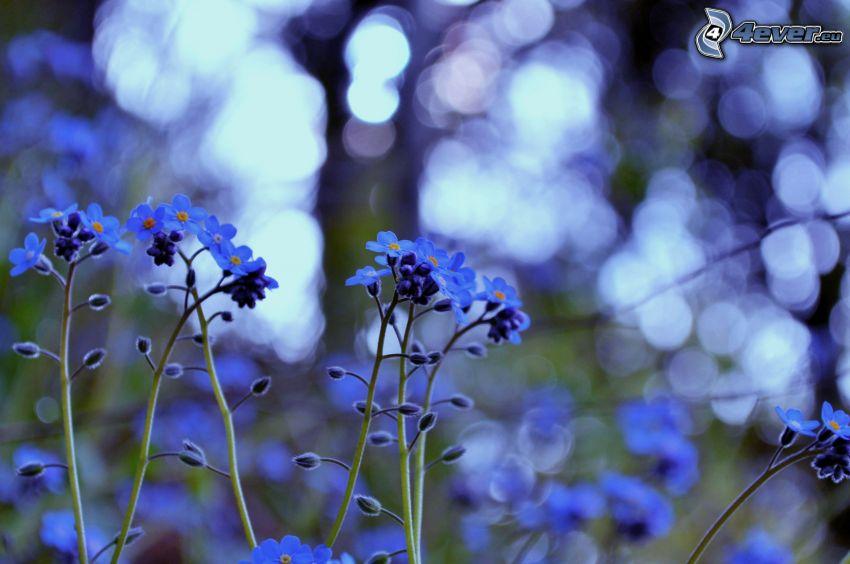 Vergiß-mich-nicht, blaue Blumen
