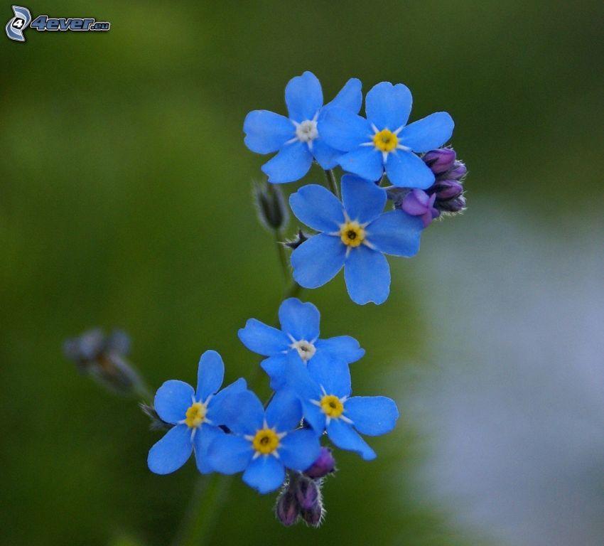 Vergissmeinnichte, blaue Blumen