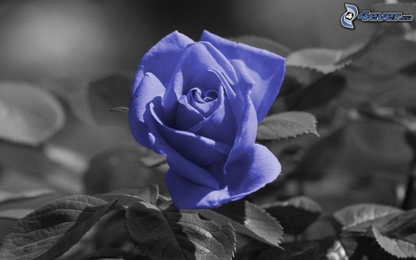 violett Rose