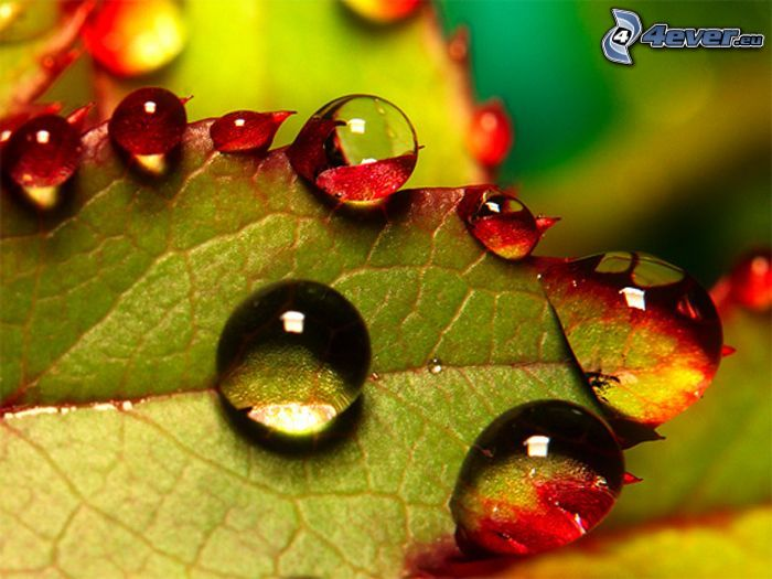 Wassertropfen, befeuchtetes Blatt
