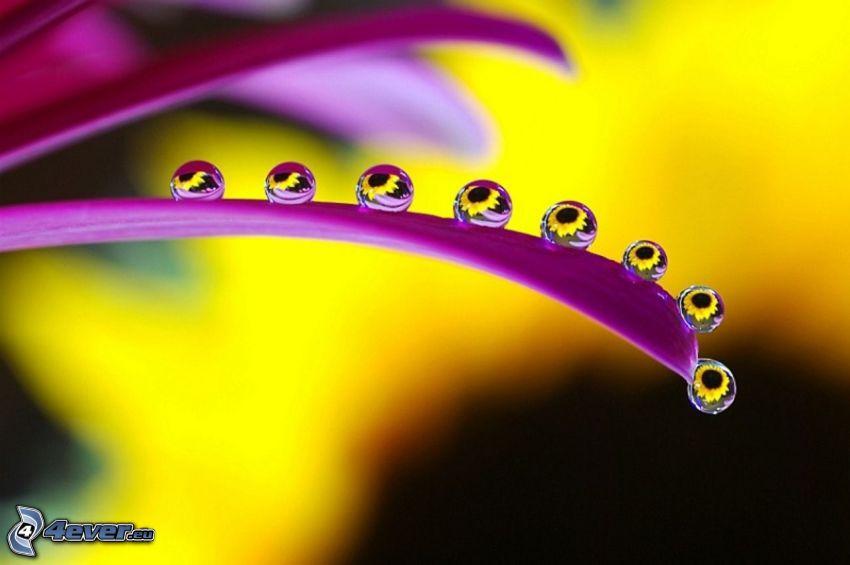 Wassertropfen, lila Blume, Blütenblätter