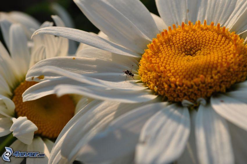 weiße Blume, Blütenblätter, Fliege