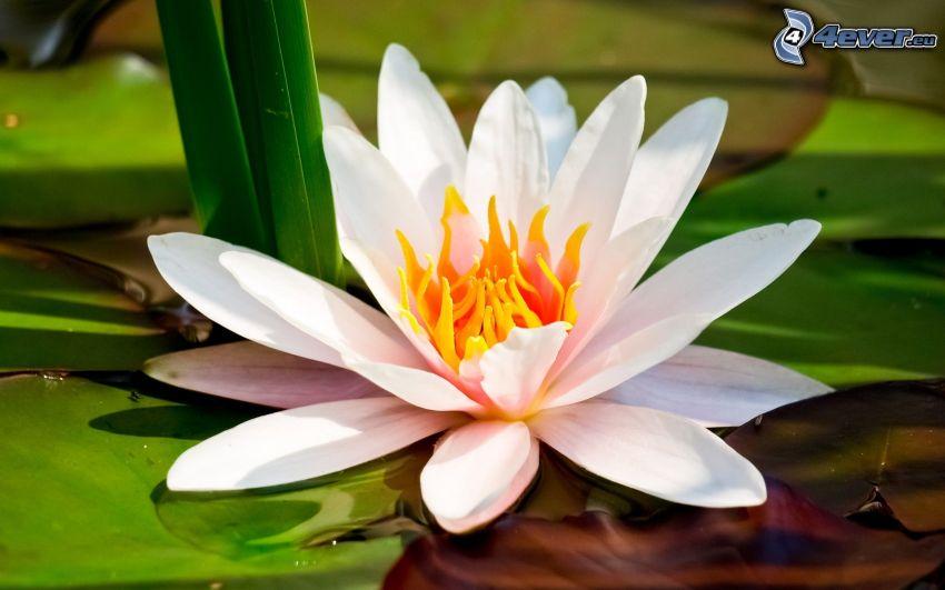 weiße Blume, Seerose