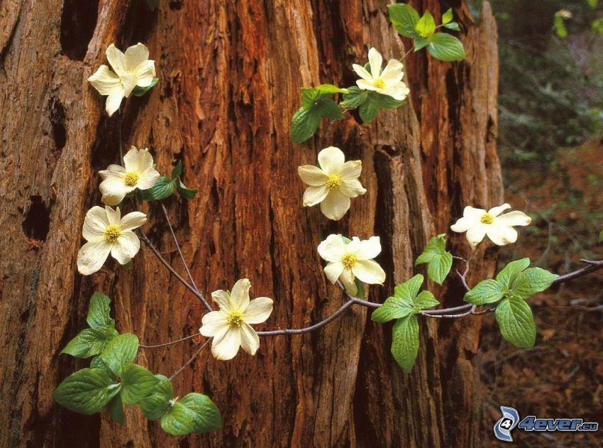 weiße Blumen, Blätter, Stamm