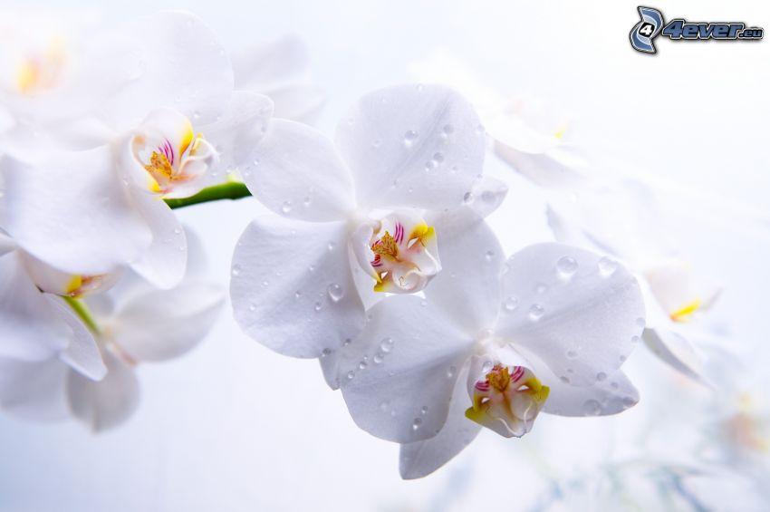 weiße Blumen, taufrischer Blume