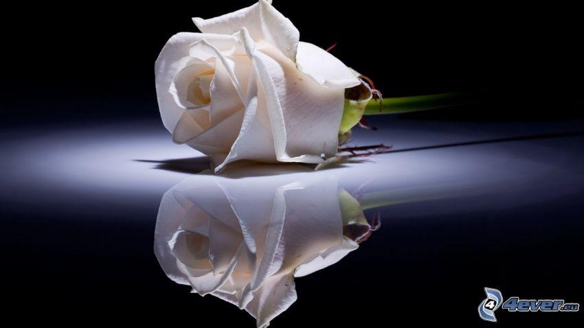weiße Rosen, Spiegelung