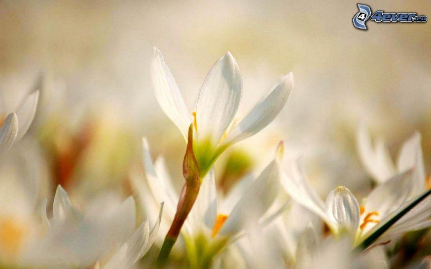 weiße Saffrons