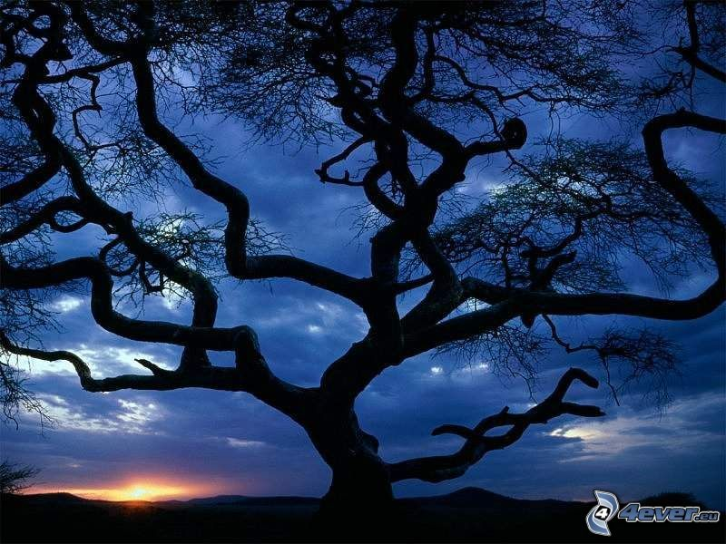weitausladender Baum, Landschaft, Sonnenaufgang, Silhouette des Baumes