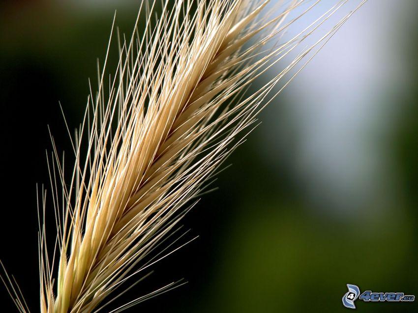 Weizen, Blatt