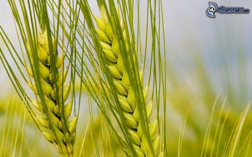 Weizen, Grünkorn