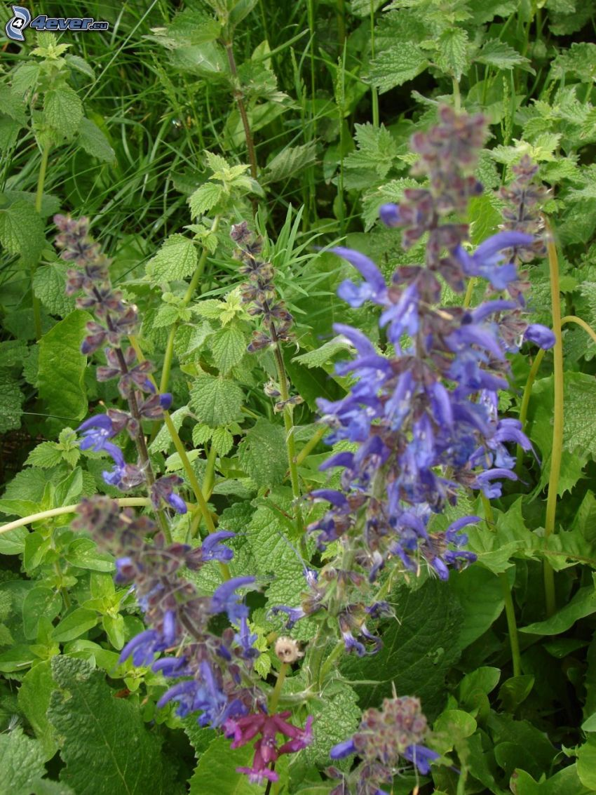 Wiesensalbei, lila Blumen, Brennnessel, Gras