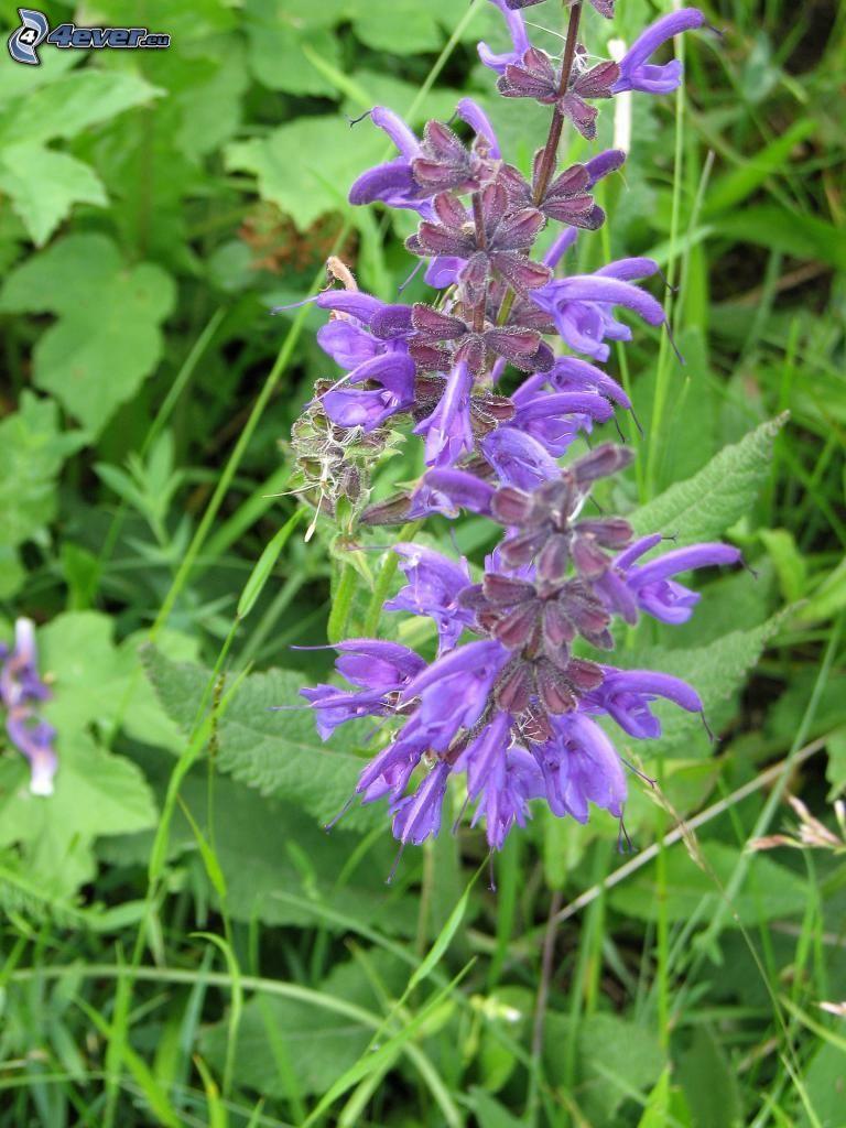Wiesensalbei, lila Blumen, Gras