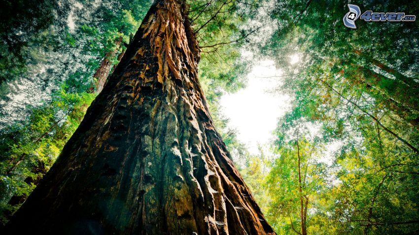 Riesenmammutbaum, Baum, Wald, Baumrinde