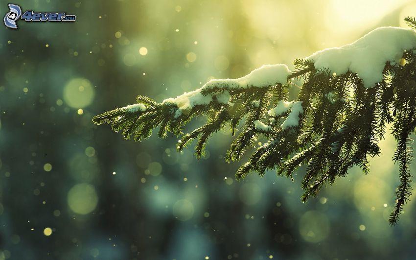 schneebedeckten Zweig, Nadelästchen, Schnee