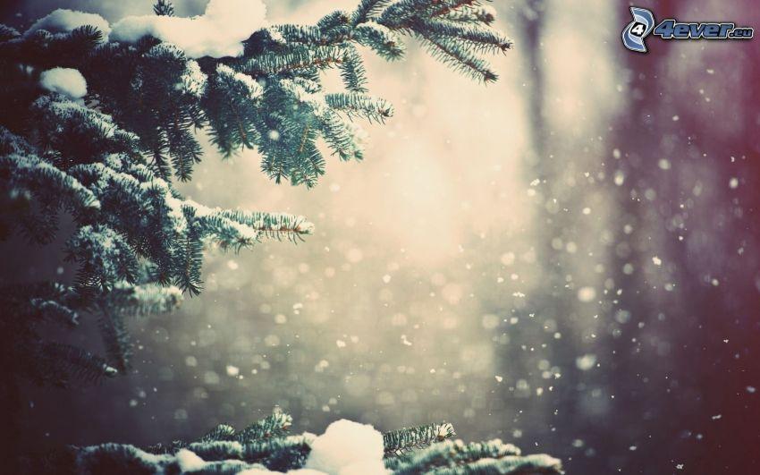 schneebedeckten Zweig, Nadelästchen