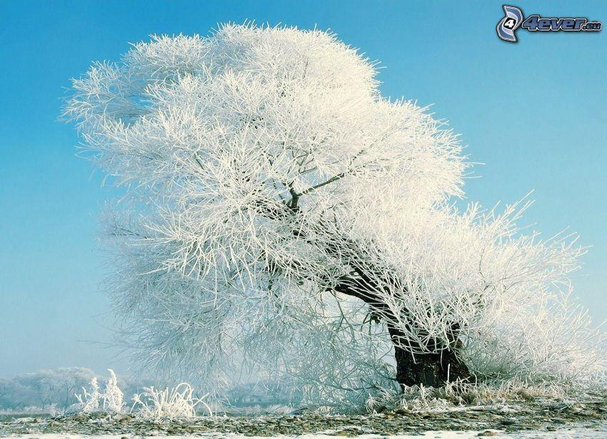 schneebedeckter Baum, gefroren