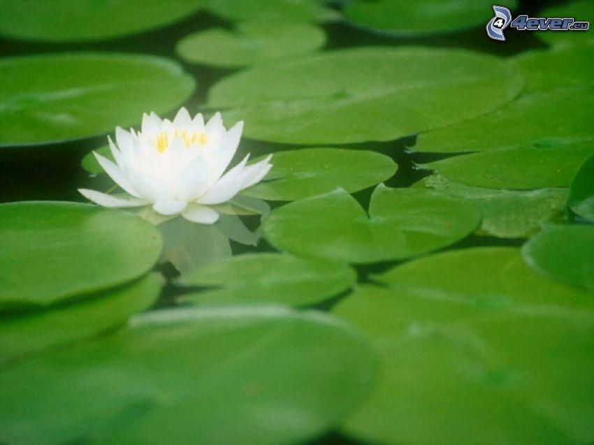 Seerose, Blätter