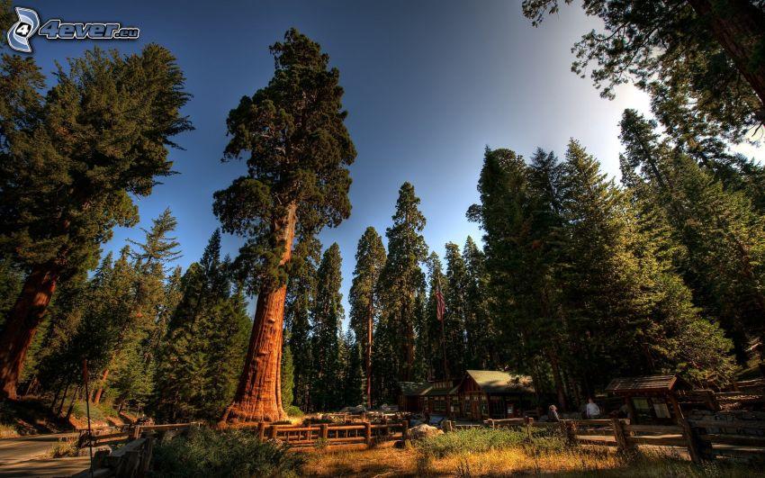 Sequoia-&-Kings-Canyon-Nationalparks, Nadelbäume, Riesenmammutbaum