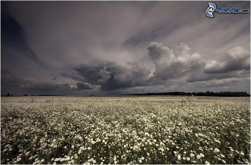 Sommerwiese, Gänseblümchen