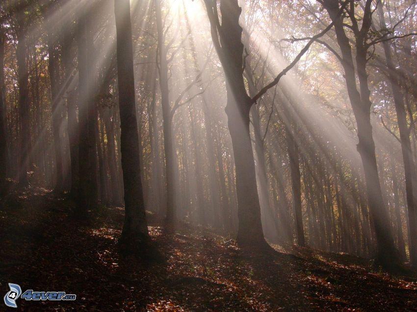 Sonnenstrahlen im Wald, trockene Blätter