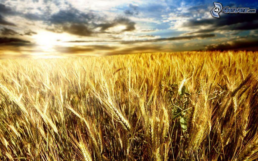 Sonnenuntergang hinter dem Feld, Weizenfeld, Getreidefeld
